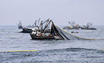 Peru to complete anchovy fishing season
