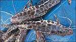 Bionetix field trials boost aquaculture health and productivity