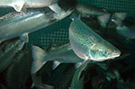 Study finds immune response in salmon through SRS oral vaccine