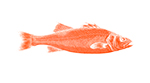 Krill meal improves performance in European seabass
