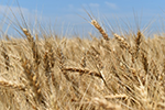 How feed processing affects corn and wheat gluten digestibility