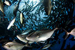 Researchers successfully replace fishmeal, fish oil in farm-raised carnivorous fish