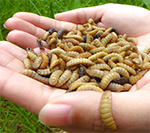 Insect meal improves shrimp performance and outcompetes fishmeal