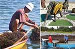 Global seaweeds and microalgae production