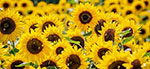 How protein content of sunflower meal impacts the extrusion process