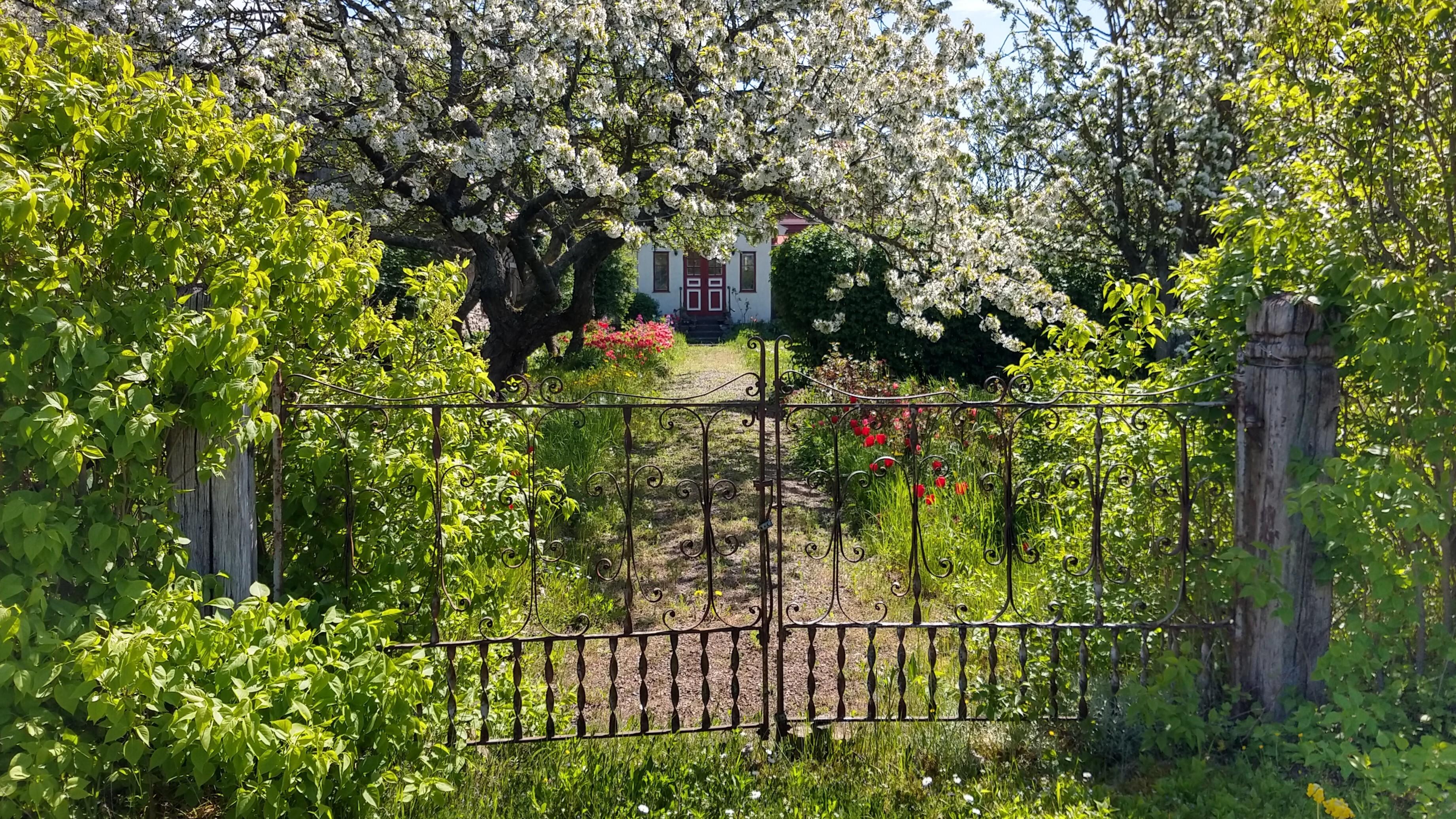 Grind mot sommarträdgård med blommande fruktträd framför hus på Öland.