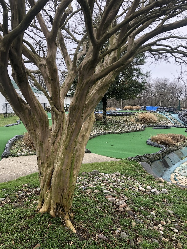 Scenic tree at this mini golf course
