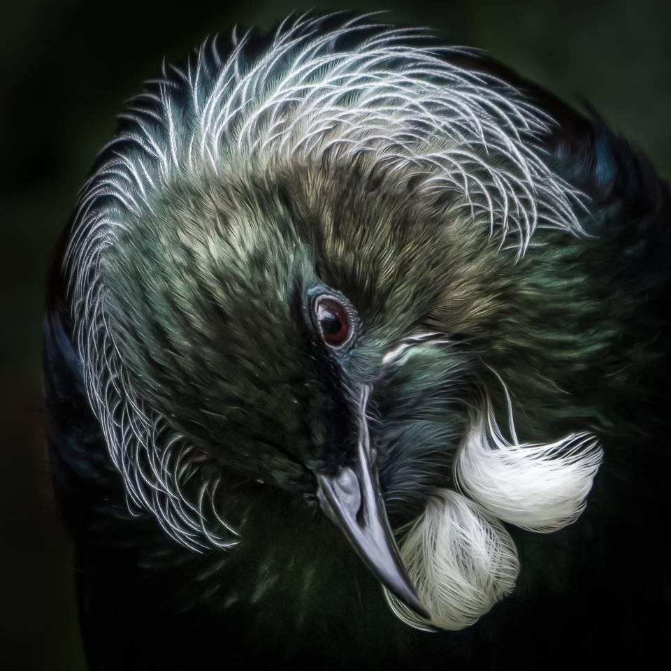 Portrait of a tūī