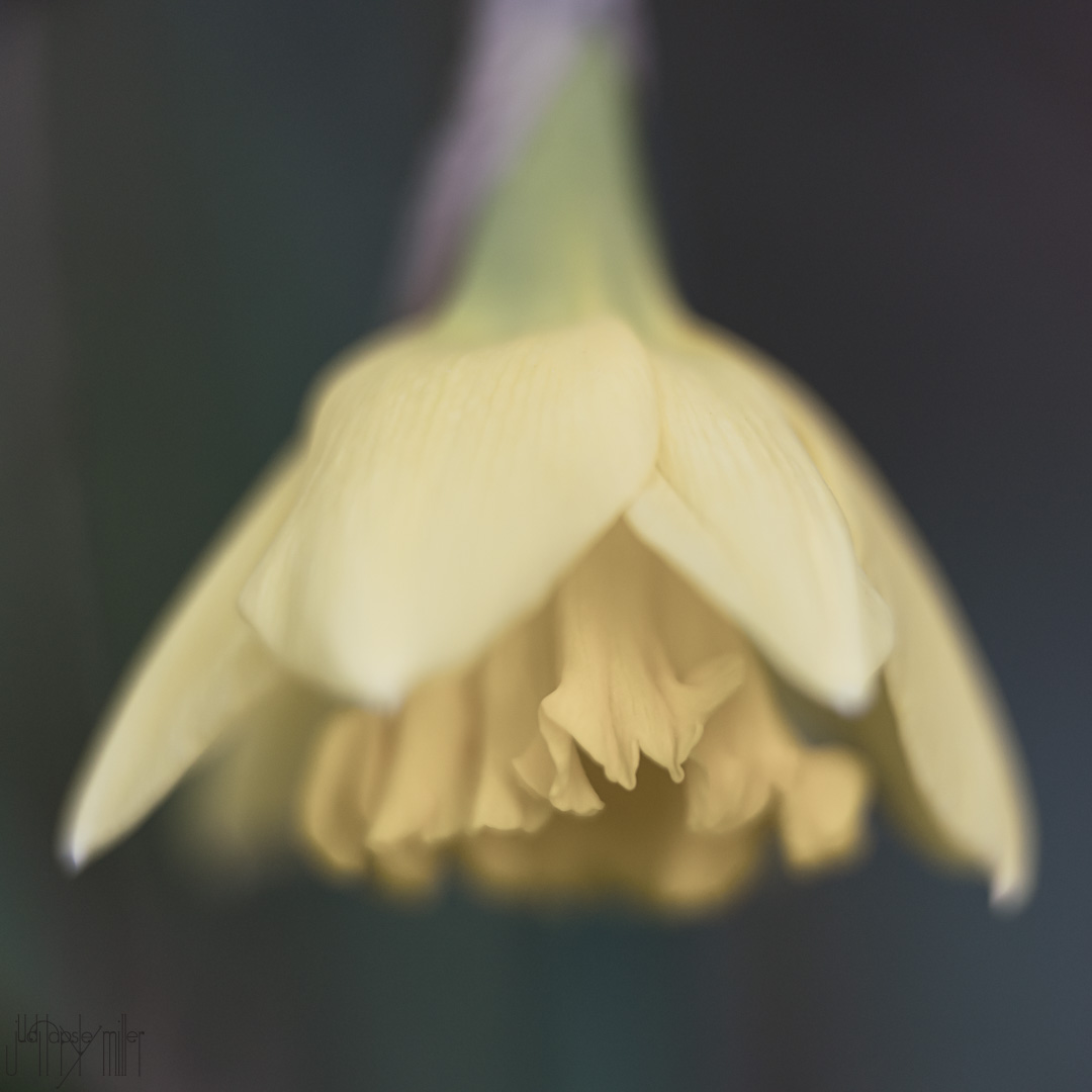 A softly-focused daffodil
