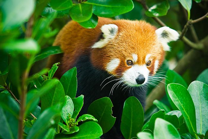 Wellington Zoo Red Panda
