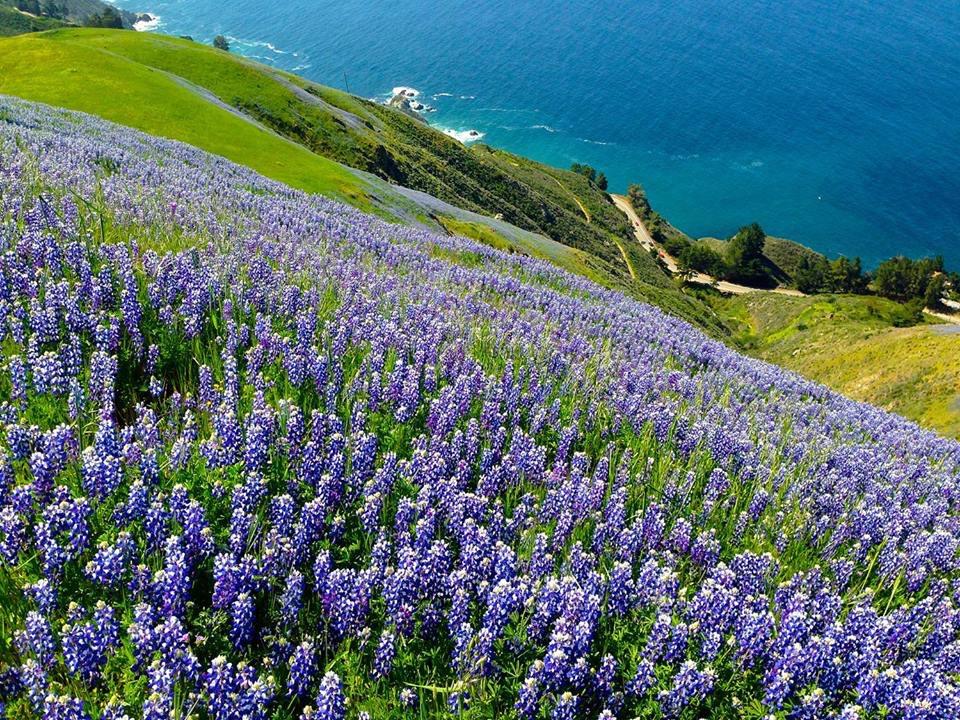 field of lupine