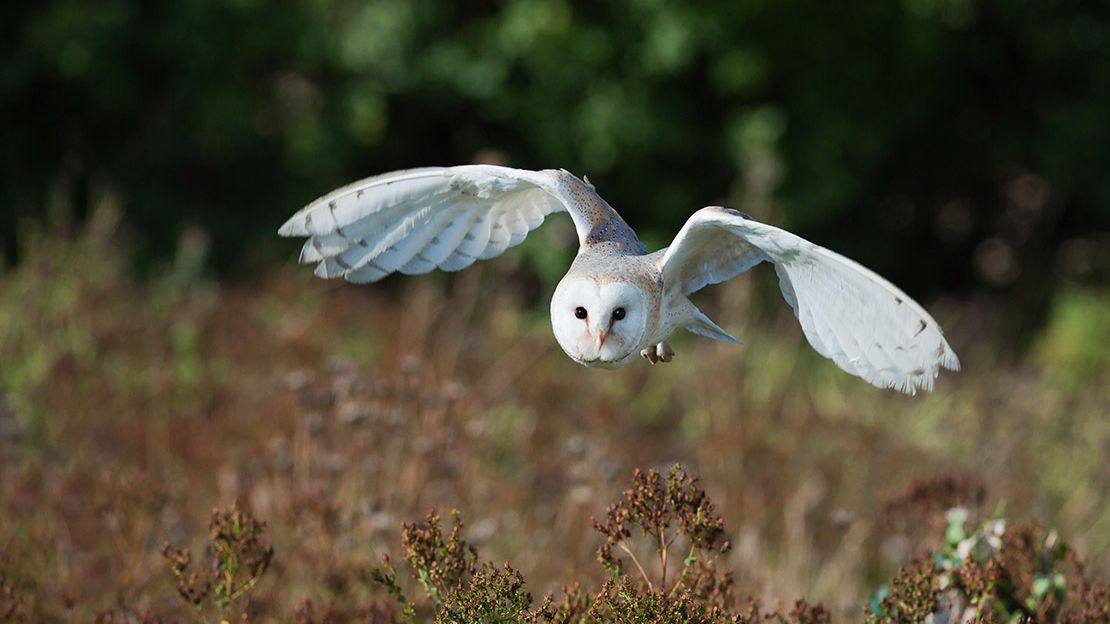White barn owl, wings spread, flying low over tall grasses and shrubs toward camera