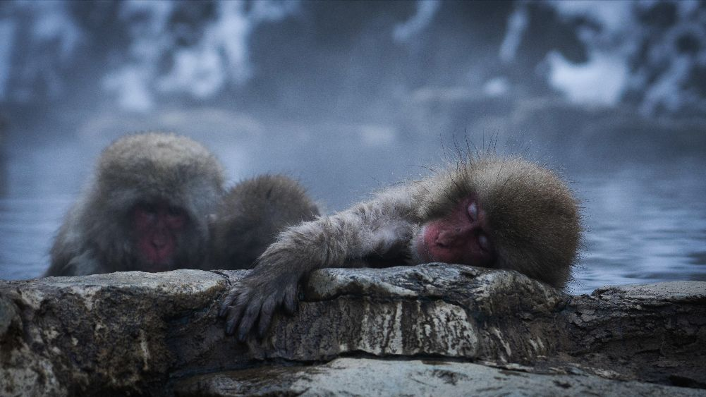 Two macaques rest in a hot spring.