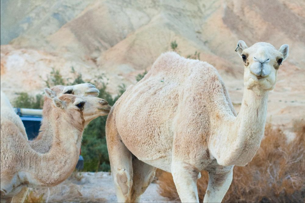 Three white camels against a background of shrubs and white foothills.