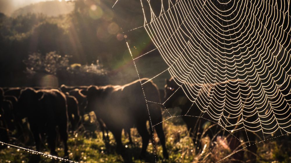 A spider web sparkles in the morning sunlight; behind it a herd of brown cows face the rising sun.