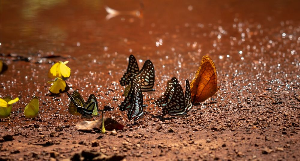 Butterflies drink at a mud puddle