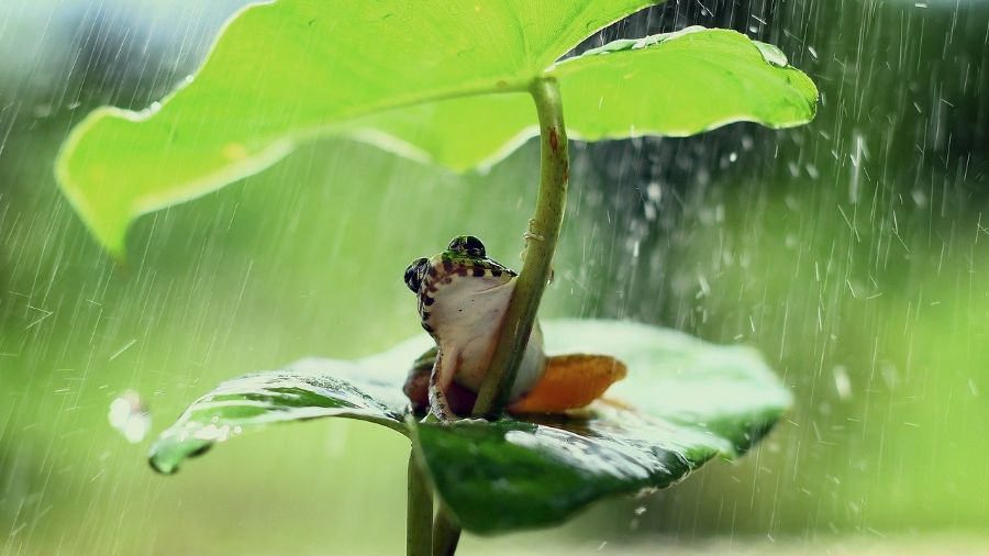 A green frog with a white belly shelters from the rain under a large leaf.
