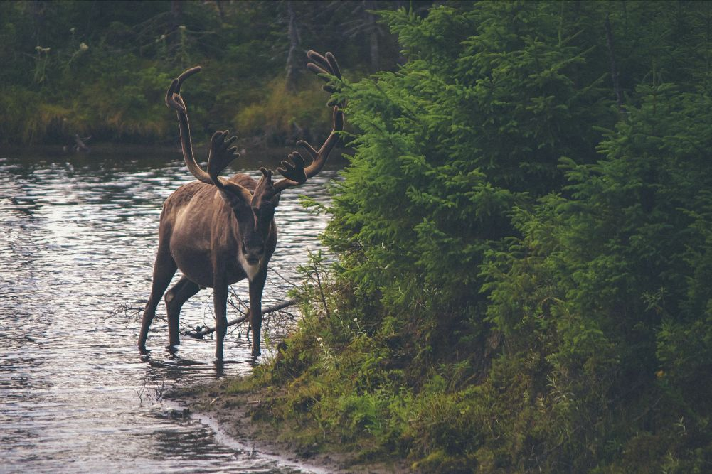 A reindeer stands in the shallow water at the edge of a slow-moving river. It looks directly at the viewer. Dense evergreen brush grows on the riverbank.