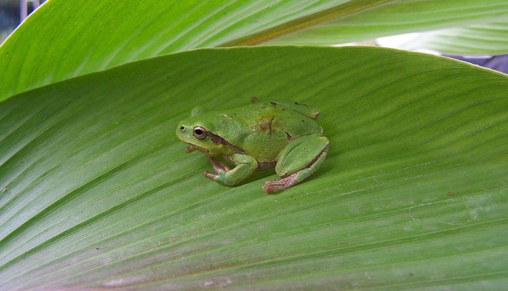 A green frog with brown patches is pictured on a large, shiny green leaf