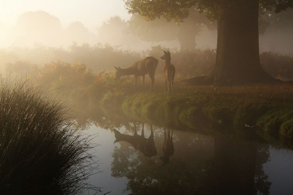 A pair of deer – possibly a mother and child – stand on the bank of a still river. The deer are reflected in the water. It's misty. The larger deer nibbles from a bush at the river's edge, while the smaller one looks to the left, ears pricked forward as if something has caught their attention.