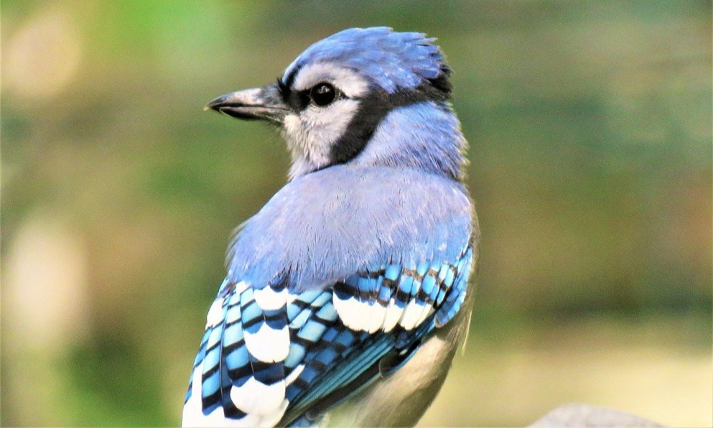 A blue jay is seen from behind, looking to the left with his head in profile