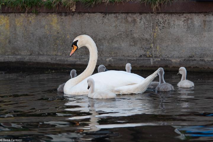 Mute Swanfamily, 2020. Photo: Esme Fantozzi