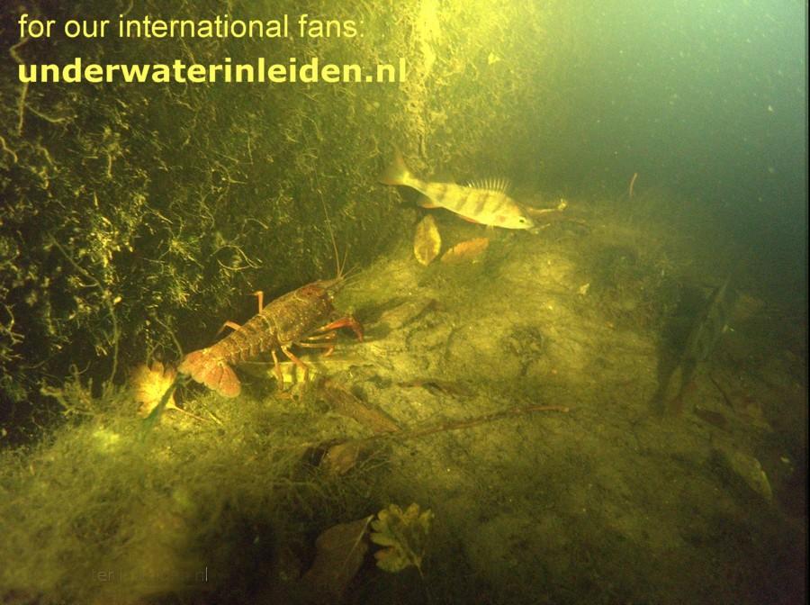 underwaterinleiden.nl, Louisiana crayfish and perch in the canal
