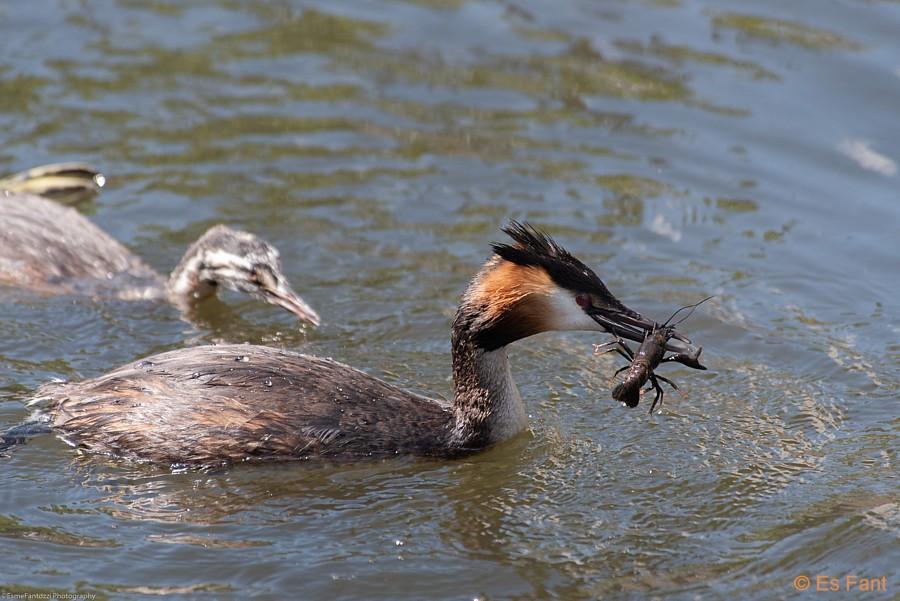 Fuut met gevlekte Amerikaanse rivierkreeft. Foto: Esmé Fantozzi