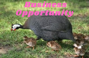 Guinea Fowl Opportunity