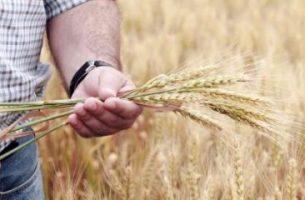 A Bumper Wheat Harvest!
