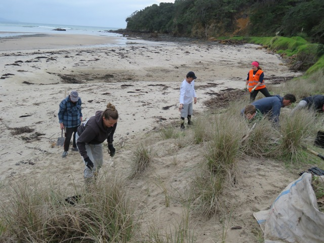Volunteers helping to plant natives on the dunes at Kuaotunu