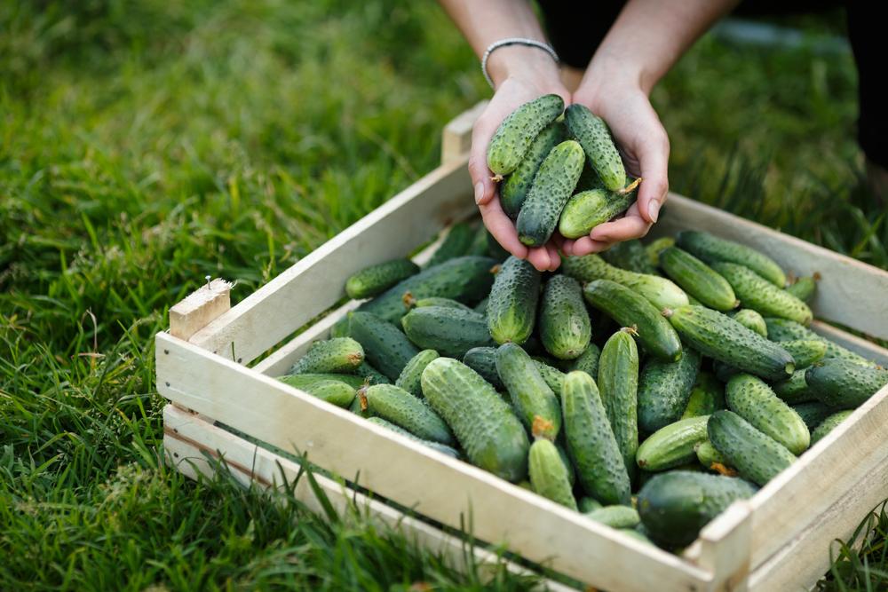 Box of cucumbers
