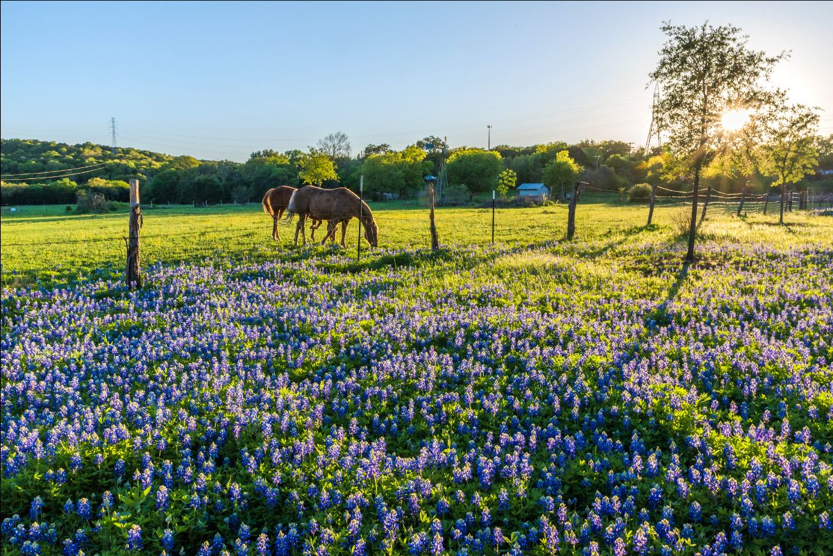 Horses graze in a pasture dotted with bluebonnets