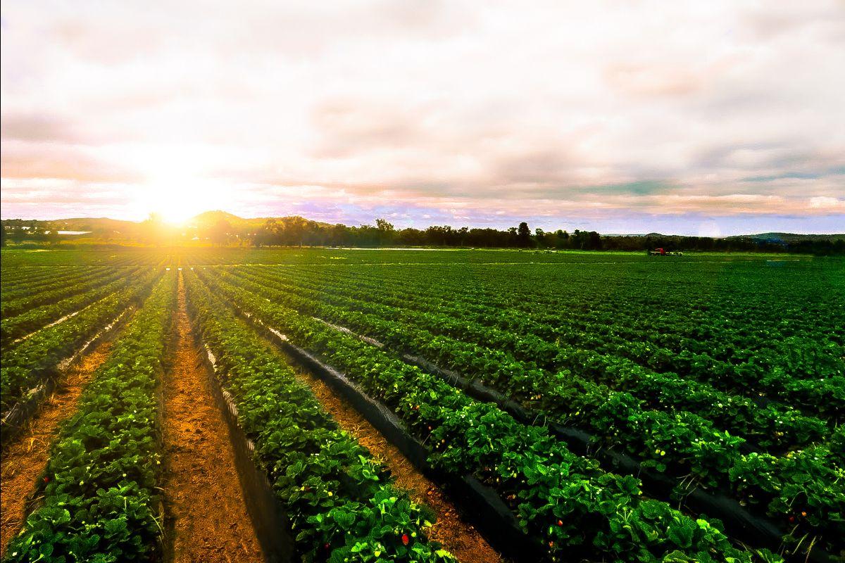 Strawberry farm at sunset