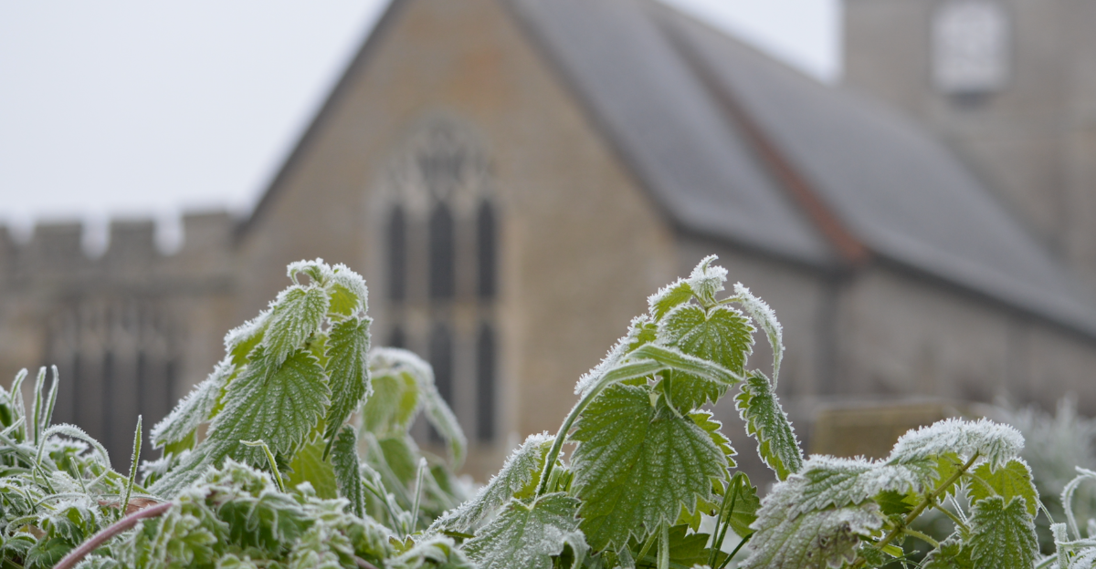 Photo showing hoar frost on stinging nettles in the churchyard