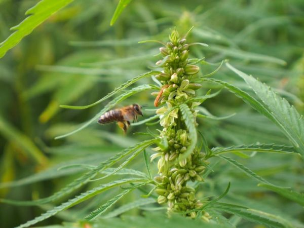 Hemp and Bee