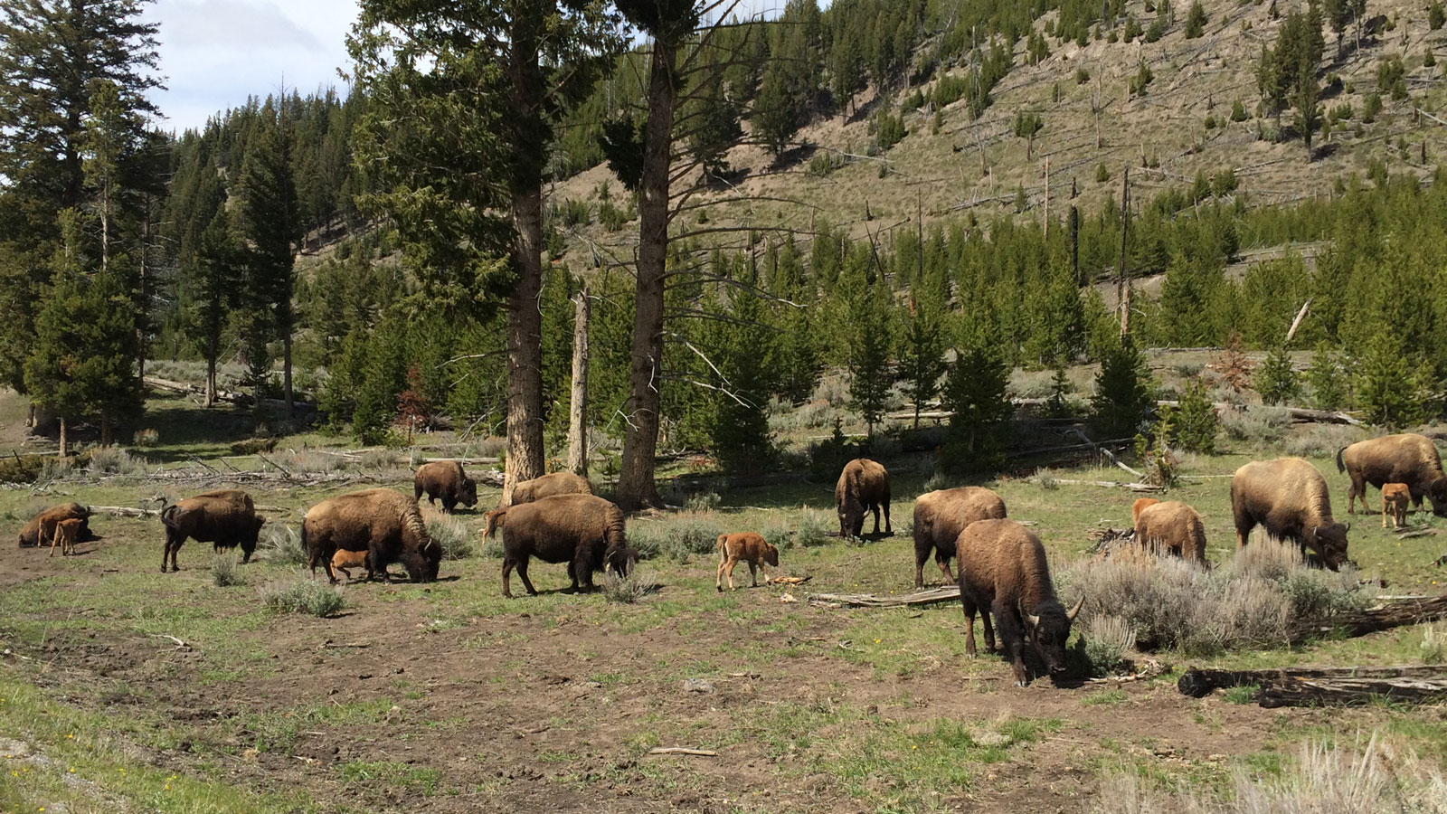 Bison in Yellowstone National Parkk