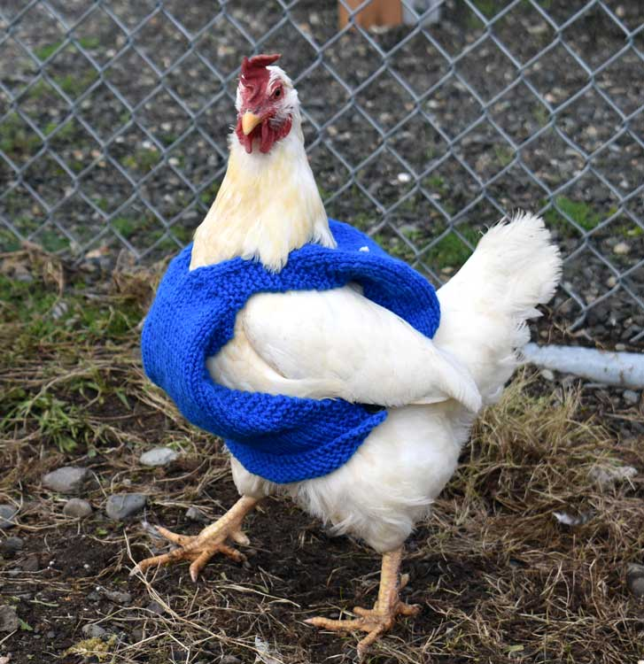 """""""Peppa"""" the chicken struts around in his newly-made sweater. Inmates at the Washington Corrections Center recently knitted sweaters for the prison's chickens to keep them warm in the winter. (Melissa Johnson, WCCW)"""