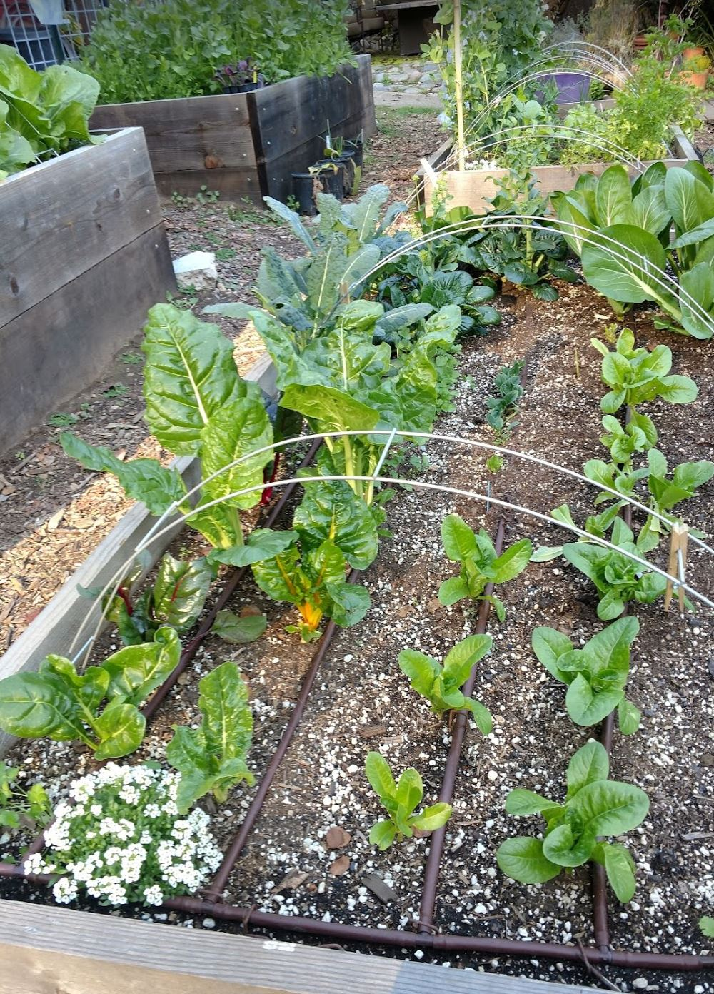raised bed - leafy greens