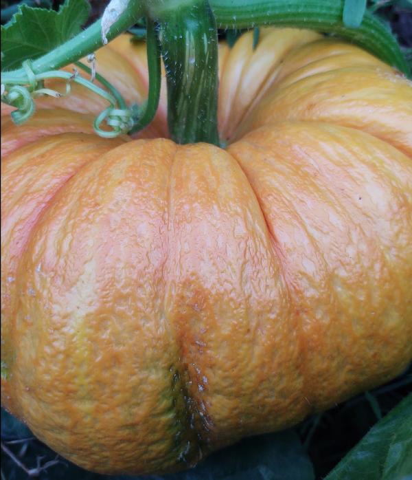 cinderella pumpkin | UCMG joy