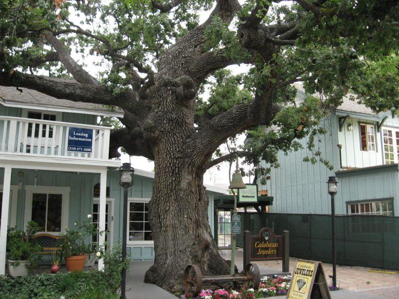 oak tree photo: UCANR