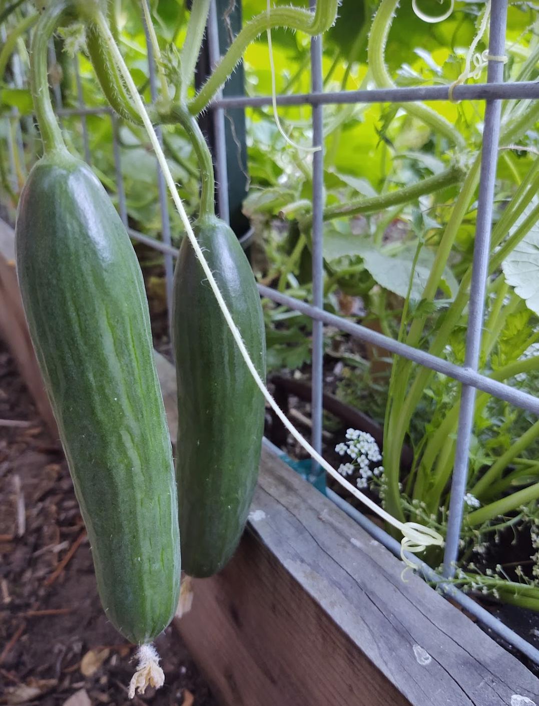 persian cucumbers | photo credit: joy agcongay