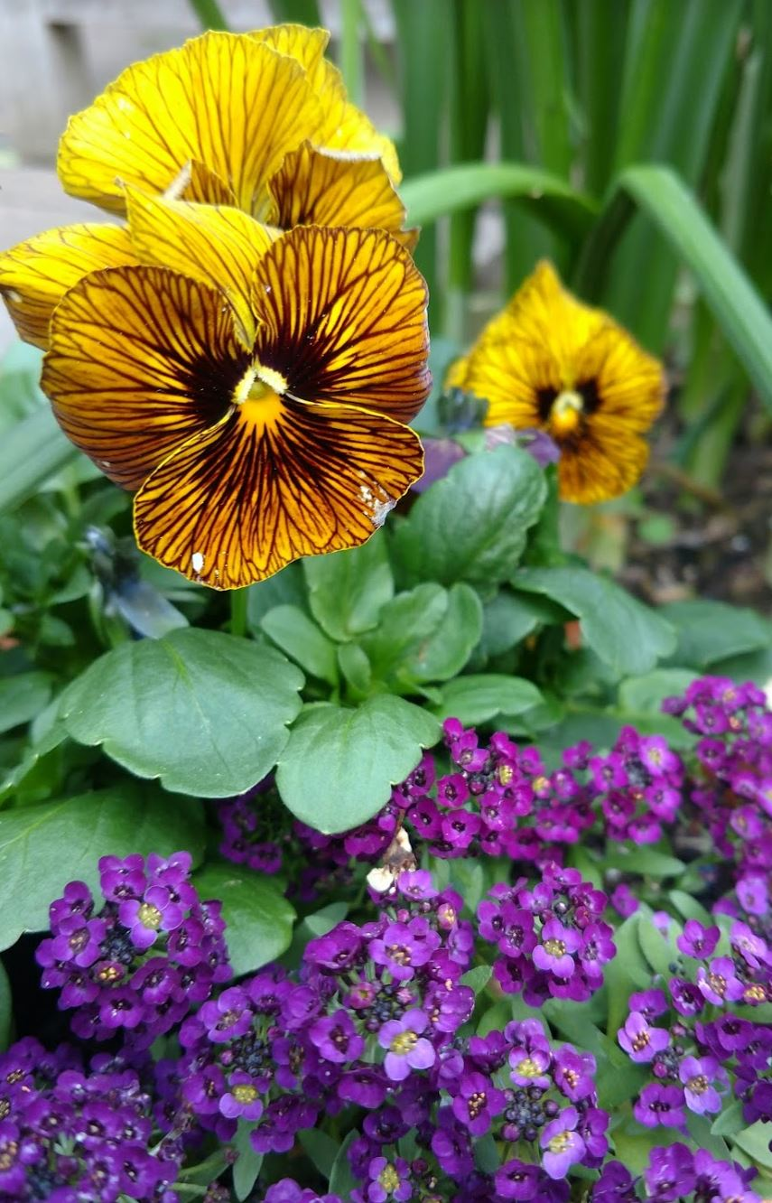 pansy and alyssum