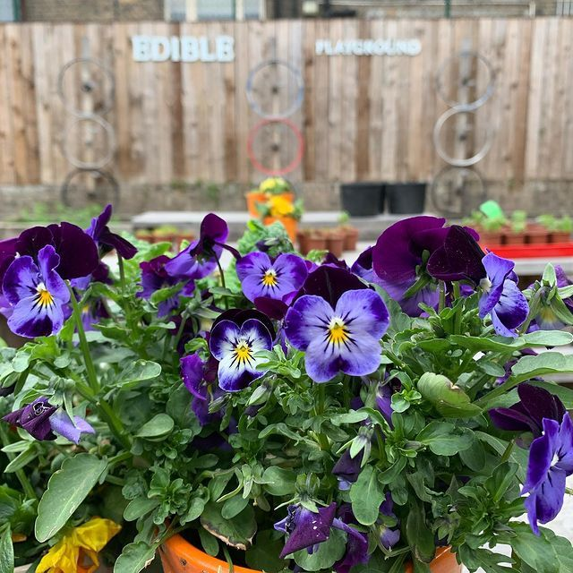 Flowers in a primary school 'edible playground'