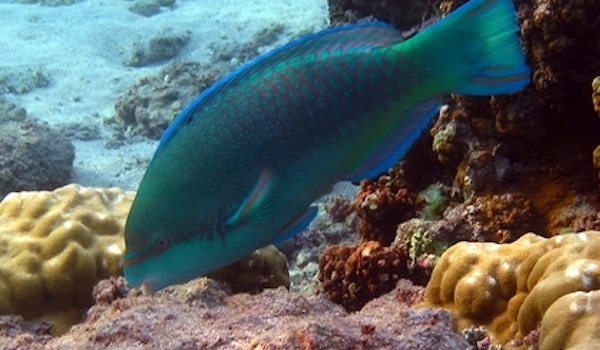 herbivorous fish