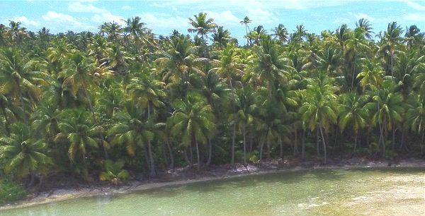 Coconut trees on the motu