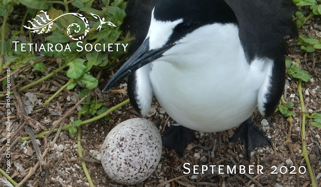 Sooty tern with its egg