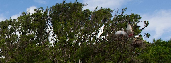 red footed booby nest