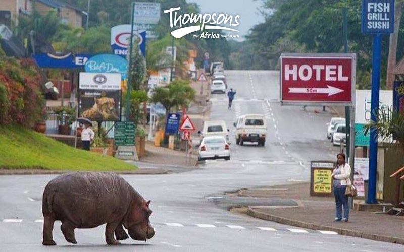 Hippos Roaming the Streets of South Africa?