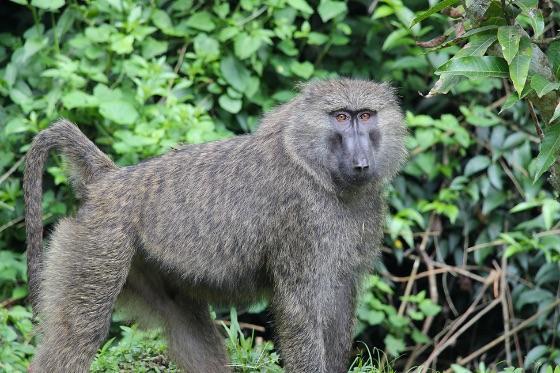 An Olive baboon